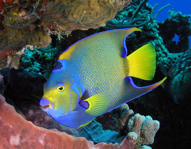 Yet another cozumel trip report and lots of pictures for for Queen angel fish