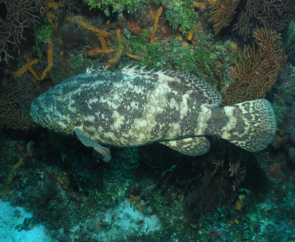 Goliath Grouper Publish with Glogster!