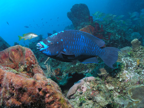 Gorgeous midnight blue parrot fish beaches oceans for Blue parrot fish