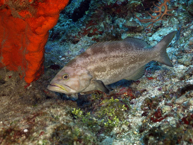 Halloween in Cozumel, Mexico + lots of picturesYellow Mouth Grouper
