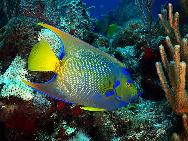Cozumel august trip report and many many pictures for Queen angel fish