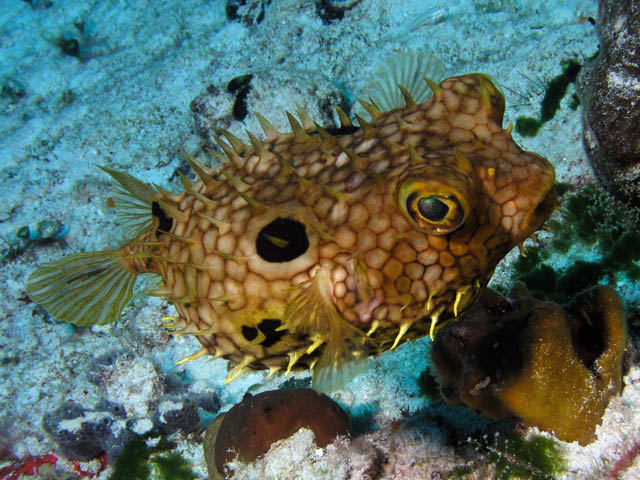 http://chemistry.csudh.edu/faculty/jim/cozumelaug06small/burrfish.jpg